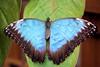 blue morpho butterfly (stevehimages) Tags: bluemorpho butterfly steveh stevehimages higgins steve earthnaturelife flickr estrellas grandpas den wowzers
