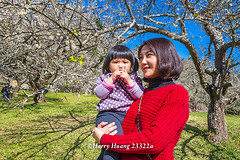 Harry_23322a,,,,,,,,,,,,,,,,,,,,,,,Plum,Plum Tree,Tree,Fruit,Farm (HarryTaiwan) Tags: tree fruit nikon farm plum taiwan     plumtree  d800                       harryhuang  hgf78354ms35hinetnet adobergb