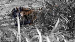 Panthera tigris sumatrae (JGOM) Tags: netherlands zoo arnhem nederland burgers burgerszoo dierentuin dierenpark burgersdierenpark