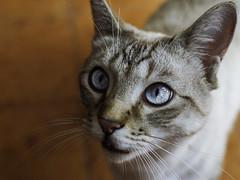 Boris (Alessandro Bondielli) Tags: blue portrait beautiful cat eyes nikon tbt d90