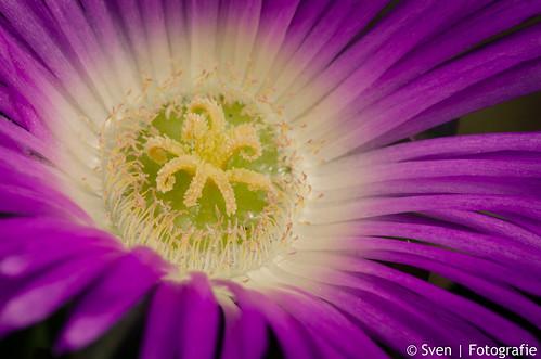 Wild Tassie Flower