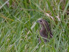 brown quail (Coturnix ypsilophora)-2909 (rawshorty) Tags: birds australia canberra act jerrabomberrawetlands rawshorty