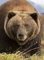 Brown Bear Up Close & Personal - Cropped Shot (AlaskaFreezeFrame) Tags: autumn summer fall nature beautiful animals closeup alaska digital canon mammal outdoors intense dangerous eyes wildlife gorgeous portait bears telephoto grizzly mammals claws carnivore bruin brownbear grizzlybear silvertip omnivore ursusarctoshorriblis alaskafreezeframe