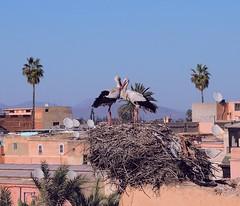 Marrakesh-Storks at Badia Palace (ustung) Tags: birds nest morocco maroc marrakesh storks badiapalace