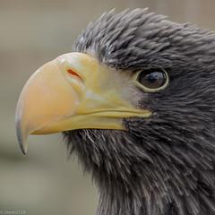 Sea Eagle - Study in profile (steve2129 - on and off) Tags: bird square eagle beak feathers explore helmsley birdsofprey seaeagle duncombe ibpc d7100 sigma105mmf28exdgoshsm steve2129
