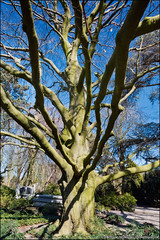 begraafplaats crooswijk (heavenuphere) Tags: old tree netherlands cemetery rotterdam europe nederland beech begraafplaats zuidholland crooswijk southholland 24105mm