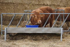 Feeding (Neil Pulling) Tags: uk england rural cattle farm bedfordshire dunton eastbedfordshire centralbedfordshire