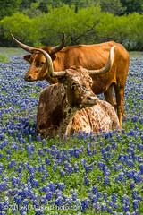 Longhorn in Bluebonnets-5 (KLMP) Tags: horses usa windmill spring texas cattle wildflowers longhorn bluebonnets ronaldreagan leander northofleander