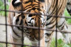 2014-08-17 (202) (CookiiEwe) Tags: park animals bur sweden stripes wildlife tiger cage whiskers sverige paws siberian nos djur kolmrden djurpark sibirisk rnder tassar morrhr