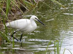 Little Egret (mulderandbuffy) Tags: england water birds britain wildlife waterbird reservoir