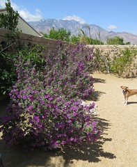 April 24, 2015 (2) (gaymay) Tags: california gay dog love happy purple desert palmsprings kitty triad
