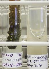 ORNG0368 (David J. Thomas) Tags: culture cave algae microbiology slant agar cyanobacteria phycology lyoncollege bg11 photobiont phycobiont