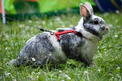 DSC_0033 (divi333) Tags: rabbit bunny bunnies ferrara rabbits conigli coniglio 2016 conigliando