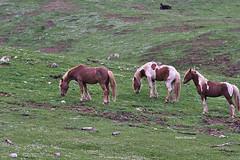 Wild horses grazing (RoyBatty83) Tags: wild horses green nature colors pentax wildlife m42 jupiter cavalli manualfocus wildhorses k5 graze 135mm naturephotography sauro fixedlens intothewild pascolo taburno russianlens sovietlens jupiter37am vintagelenses camposauro taburnocamposauro pentaxk5 jupiter37am135mmf35