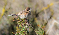 Reed Bunting (The Rustic Frog) Tags: camera wild england nature canon lens eos singing mark norfolk reserve ii calling 4d 100400mm markii titchwell rspb
