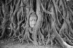 The head of Buddha in Wat Mahathat (cooli_#1) Tags: people thailand se nikon asia si buddhism wat phra ayutthaya 2016 nakhon ayyutthaya