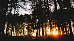 Wild Dreaming in the Pinetree Forest (Wenzel Rollmann) Tags: trees sunset plants sun nature yellow forest outdoors ginger flora pinetrees