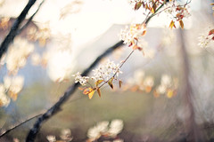 Always be a work in progress. (Sandra H-K) Tags: flowers tree nature sunshine outside outdoors spring flora soft dof bokeh pastel branches blossoms sunny depthoffield softfocus dreamy serene springtime