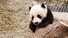 Jia Yueyue and Jia Panpan, Toronto Zoo Giant Panda Twins (Maria McRae) Tags: pandas torontozoo giantpandas 6ix pandastory zoosofnorthamerica torontopandatwins jiapanpan jiayueyue topandacubs torontopandacubs