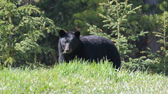 Black Bear  8880 (robenglish64) Tags: blackbear