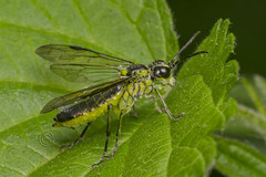 6407 Sawfly (Pete.L .Hawkins Photography) Tags: pentax flies sawfly pentax100mmmacro petehawkins petehawkinsphotography pentaxk3 petelhawkinsphotography petelhawkins pentaxmacroinsects