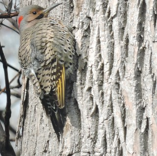 Northern Flicker, golden form, male - Pic flamboyant, mâle, forme dorée .......3 mai 2016.......DSCN23471