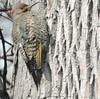 Northern Flicker, golden form, male - Pic flamboyant, mâle, forme dorée .......3 mai 2016.......DSCN23471 (Diane.G.) Tags: northernflicker picflamboyant flicker pic birds oiseaux specanimal coth thesunshinegroup damniwishidtakenthat avianexcellence coth5 ebloissantenature bestofdamn alittlebeauty faunaandflora confidentialisthebest onceinyourlife lapetitegalerie collectionparimpatience fantasticnature photossansfrontières realbutee ayezloeil livingjewelsofnature preciouslivingjewelsofnature memberschoice