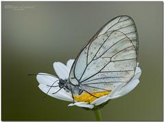 _DSC9133  - 25 06 2012  Aporia crataegi. (maurob_1454) Tags: aporia crataegi lepidottero farfallabianca pieridedelbiancospino