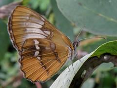 Mestra amymone (carlos mancilla) Tags: insectos butterflies mariposas mestraamymone olympussp570uz
