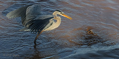 It Got Away?? (20160602-190438-PJG) (DrgnMastr) Tags: bravo fb cropped greatblueherons coth littlestories oe2 petitcodiacriver brilliantnature oe1 avianexcellence overtheexcellence naturesspirit picswithsoul damniwishidtakenthat ia60 hg~sb dmslair sunshinegroup opticalexcellence grouptags hgbirds allrightsreserveddrgnmastrpjg pjgergelyallrightsreserved