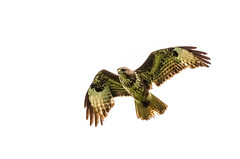 Buzzard In Flight (buteo buteo) (phat5toe) Tags: nature nikon wildlife flight feathers raptor prey buzzard avian buteobuteo wigan flashes greenheart d7000 sigma150500