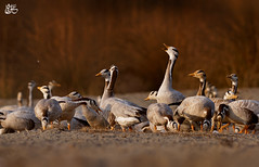 Bar-headed goose (S.M. Ali Javed) Tags: pakistan wild bird nature bar flickr paradise wildlife birding goose ali wwf headed shah javed natgeo wildbirds wildlifereserve birdsofpakistan