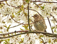Blossom Birdie..x (lisa@lethen) Tags: flower tree nature cherry petals blossom song wildlife branches thrush