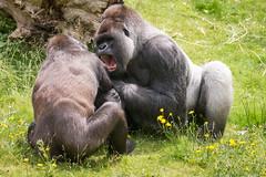 2016-06-16-12h35m15.BL7R9873 (A.J. Haverkamp) Tags: canonef100400mmf4556lisiiusmlens rotterdam zoo dierentuin blijdorp diergaardeblijdorp httpwwwdiergaardeblijdorpnl gorilla westelijkelaaglandgorilla nasibu dob01042007 pobfrankfurtgermany bokito dob14031996 pobberlingermany