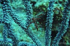 Neck crab (kyshokada) Tags: canon underwater honduras scuba diving powershot caribbean roatan reef animalplanet neckcrab