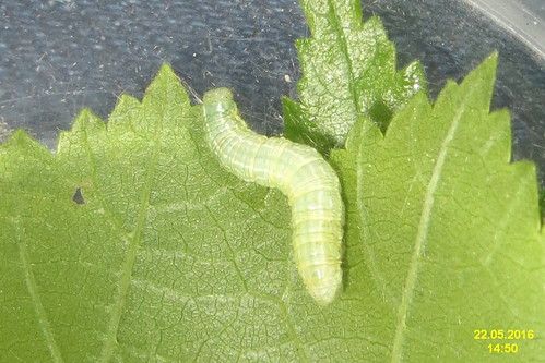 Unid. caterpillar (MOL Žebrák)