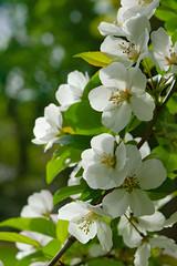 20150510-DSC01823.jpg (myaarhkoo1) Tags: flowers white plant flower tree landscape spring branch blossom outdoor blossoms flowering blooming flowersplants