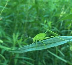 Amblycorypha sp. - Round-headed Katydid nymph (Stylurus) Tags: lodi township michigan prairie oaks nymph katydid amblycorypha roundheaded
