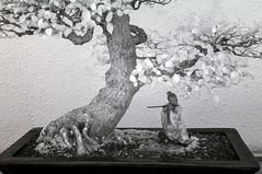 DSC_3811s (An Xiao) Tags: arboretum bonsai penjing