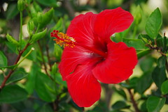 Red Hibiscus (petrk747) Tags: travel flowers red flower travelling green beauty turkey garden coast flora outdoor antalya hibiscus redhibiscus saariysqualitypictures
