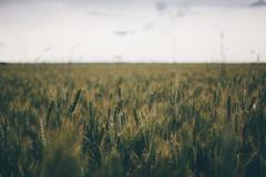 Dark field (Frostroomhead) Tags: art field dark landscape nikon f14 wheat sigma 30mm d5200