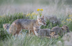 Swift Fox Family (Tundra Winds Images by Donna) Tags: colorado kits vixen easternplains vulpesvelox shortgrassprairie