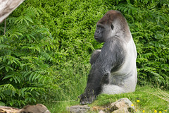 2016-06-16-13h13m14.BL7R9948 (A.J. Haverkamp) Tags: canonef100400mmf4556lisiiusmlens rotterdam zoo dierentuin blijdorp diergaardeblijdorp httpwwwdiergaardeblijdorpnl gorilla westelijkelaaglandgorilla bokito dob14031996 pobberlingermany
