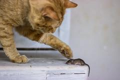 Cat vs Mouse (annfrau) Tags: topo cat mouse kitten gatto micio canon50mmf18stm