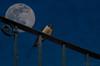 Notturno con rondine (adrianaaprati) Tags: moon night composition photoshop nocturnal luna swallow notte composit notturno composizione rondine