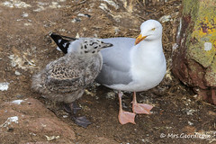 Herring Gull & Chick (Mrs.Geordiepix) Tags: bird coast gull cliffs chick herring