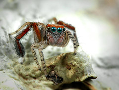 Saitis Barbipes (Little Boy 09) Tags: macro colors canon eos spider high jumping sigma 105 250 oooo dcr magnification salticidae raynox 60d macrodream