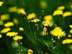 Yellow Flowers (katushang) Tags: china plant flower color green yellow heilongjiang daylight nikon colorful siberia nikkor dslr fareast harbin dx haerbin macrophotography 105mm  105mmf28  nikkor105mmf28gvrmicro nikkor105mmf28g 105mmf28gedvr d5100 nikond5100 d5100 fxlensondxcamera 105mmaf28g 105mmaf28gedvr fullframelensoncropsensor fxlensonadxcamera
