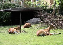 2-IMG_2173 (hemingwayfoto) Tags: berlin horntrger kafuelitschimoorantilope kobuslechekafuensis natur paarhufer sugetier zoo