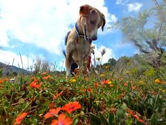 Wildson i les flors. (.carleS) Tags: flowers del olympus perro gos flors barranc wildson caeduiker tg850 galitero